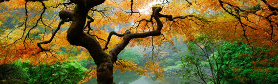 Maple Tree, Japanese Gardens